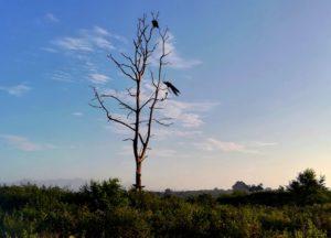 blog-voyage-couple-parfums-de-liberte-leo-et-julie-petit-budget-safari-udawalawe-sri-lanka-paon-suspendu